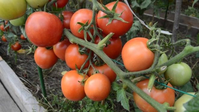 Ранние, низкорослые томаты