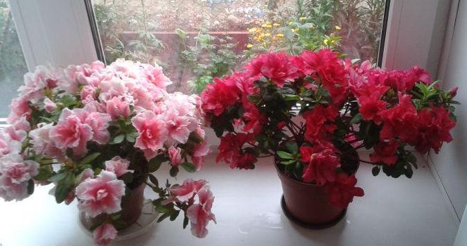 Пышное цветение азалии может изумить любого гостя