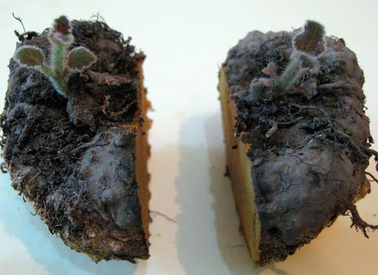 Размножение глоксинии клубнем