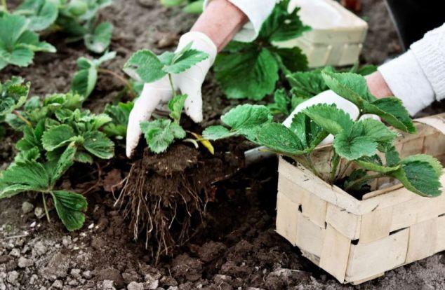 Основной совет при пересадке - это бережное обращение с корнями растения