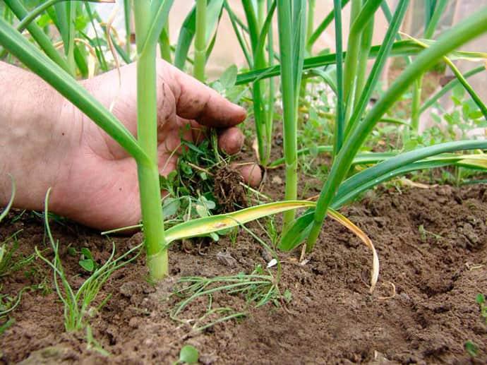 Прополка обеспечит растению быстрый рост