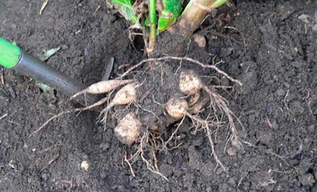 В сухую погоду корни выходят легче