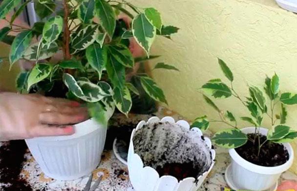 Во время пересадки важно не повредить корневую системы цветка