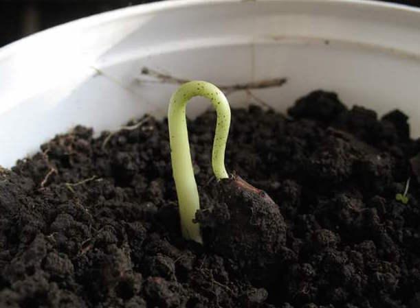 Появившийся росток хурмы