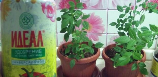 Подкормка для комнатных роз