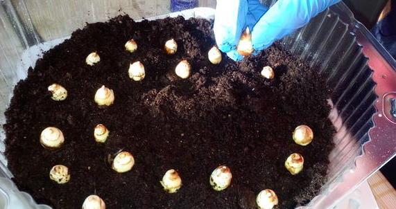 Посадка луковиц в домашних условиях