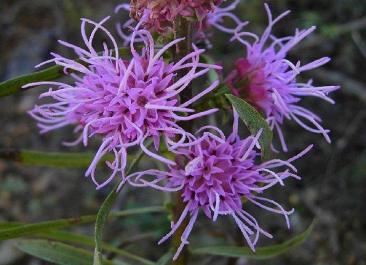 Цветение лиатриса шереховатого