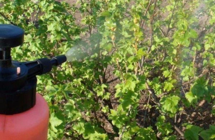 Опрыскивание листьев смородины весной