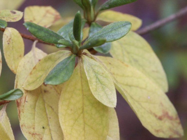 Пожелтевшие листья азалии