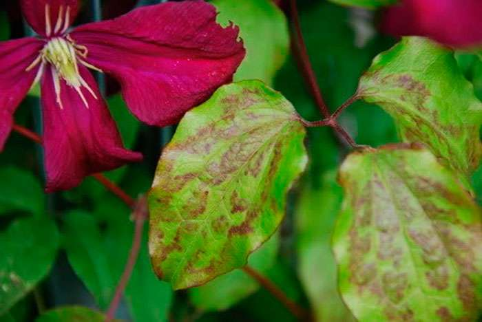 Больные листья клематиса