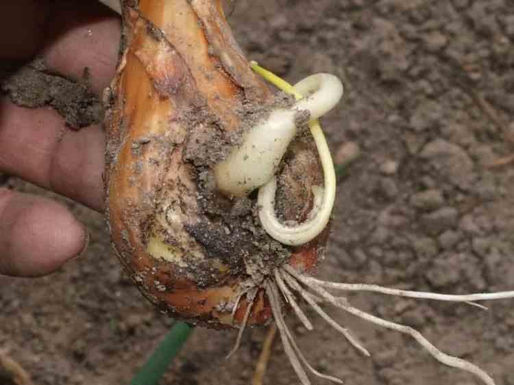 Луковица, поврежденная нематодами