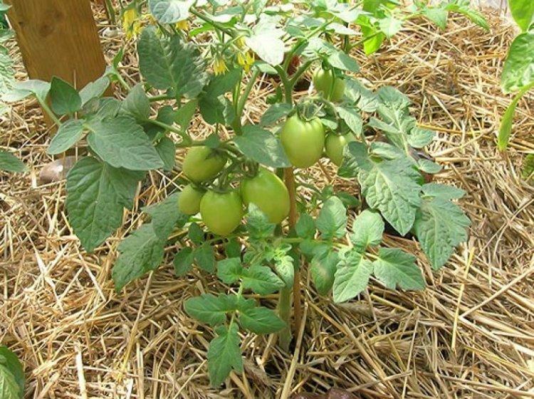 Мульчирование помидор соломой