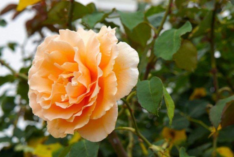 Бутон парковой розы
