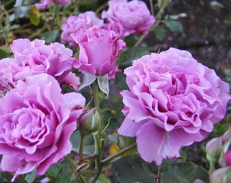 Куст розы флорибунда