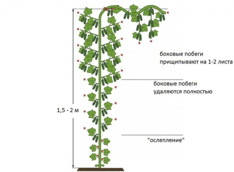 Схема выращивания огурцов в одну плеть