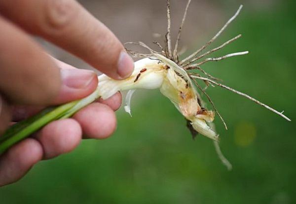 Личинки луковой мухи не менее опасны чем их взрослые особи