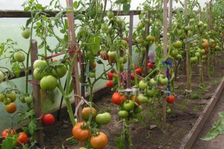 Подвязка помидор с помощью кольев