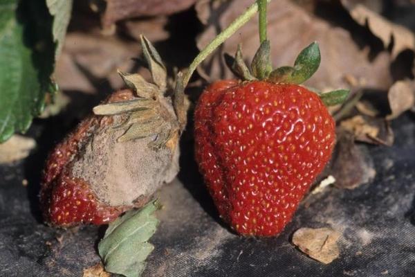 Серая гниль на плодах клубники