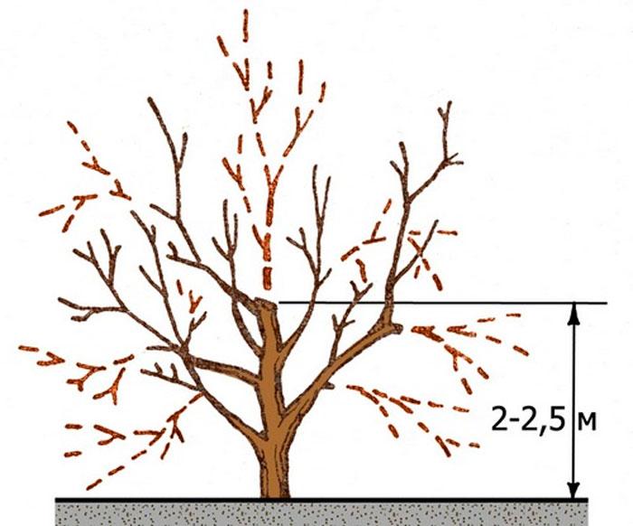 Схема формирования кроны абрикоса