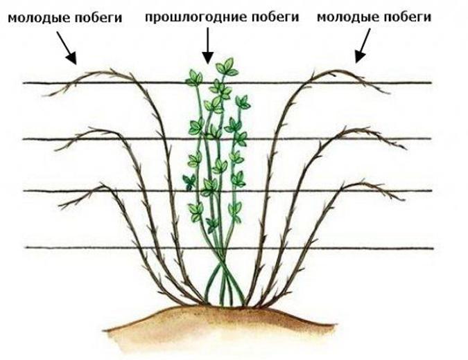 Схема формирования куста ежевики