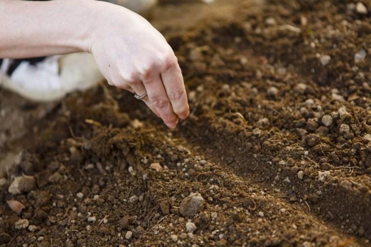 Георгина: выращивание из семян