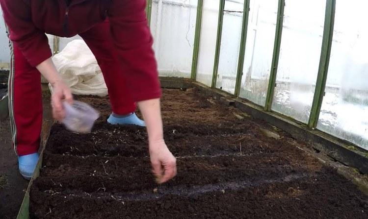 Бархатцы: выращивание из семян