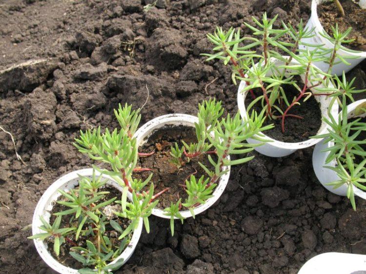 Портулак: выращивание из семян