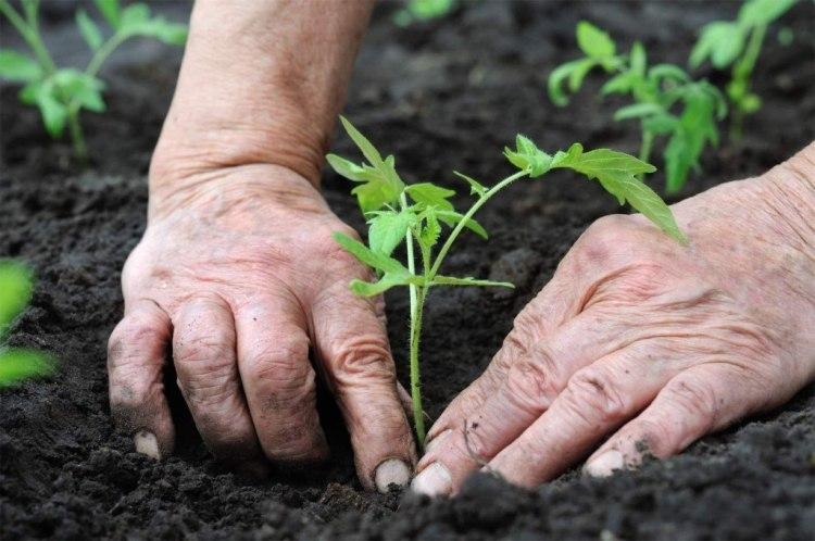 Сроки посева томатов на рассаду