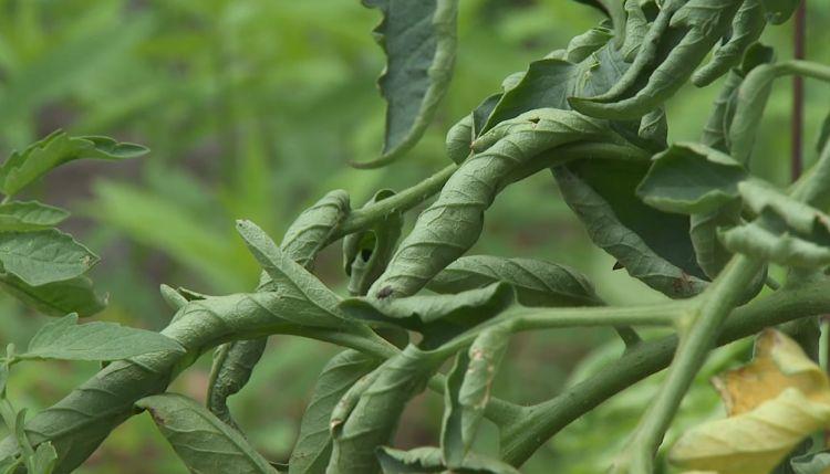 Листья томатов скрутились трубочкой