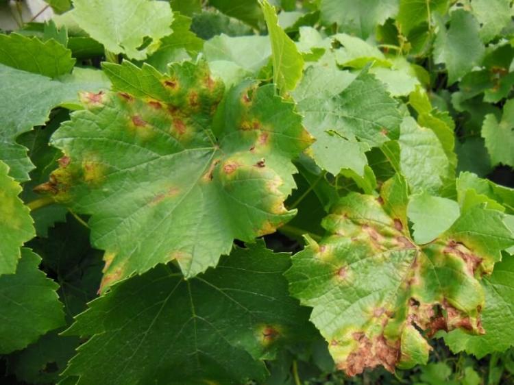 Грибок на листьях винограда