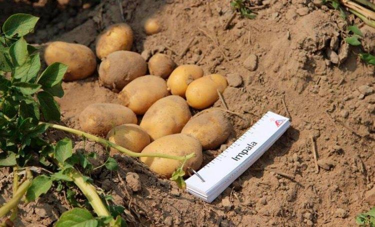 Сорт картофеля импала