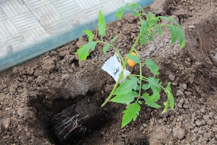 Высадка рассады помидоров в теплицу