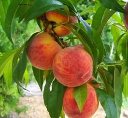 Peach fruits on tree