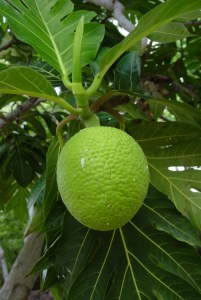 Breadfruit Fruit Facts