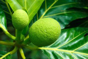 Breadfruit health Facts