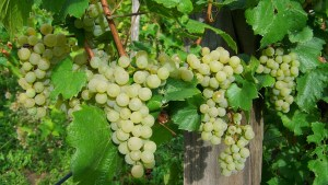 Grapes health facts