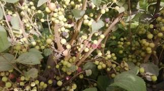 Grewia Fruit health Facts