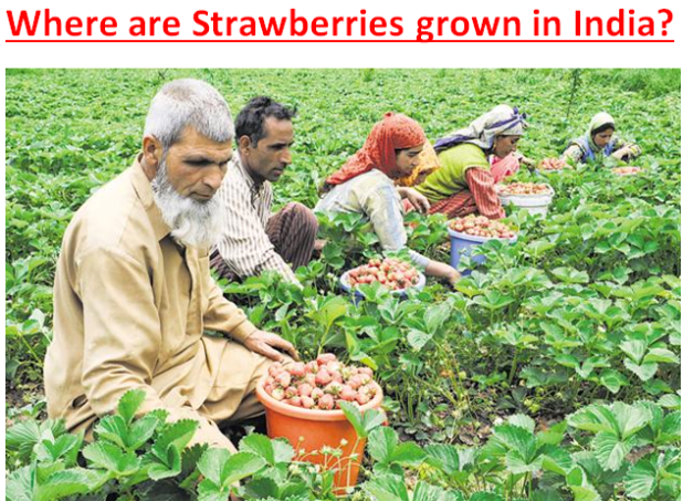 Where are Strawberries grown in India?