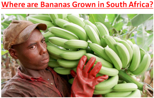 Where are Bananas Grown in South Africa?