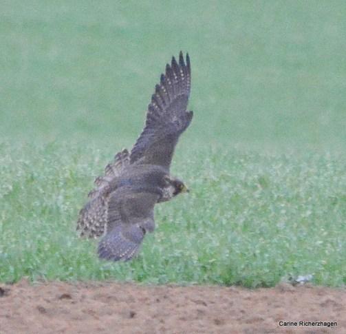 Slechtvalk - Falco peregrinus