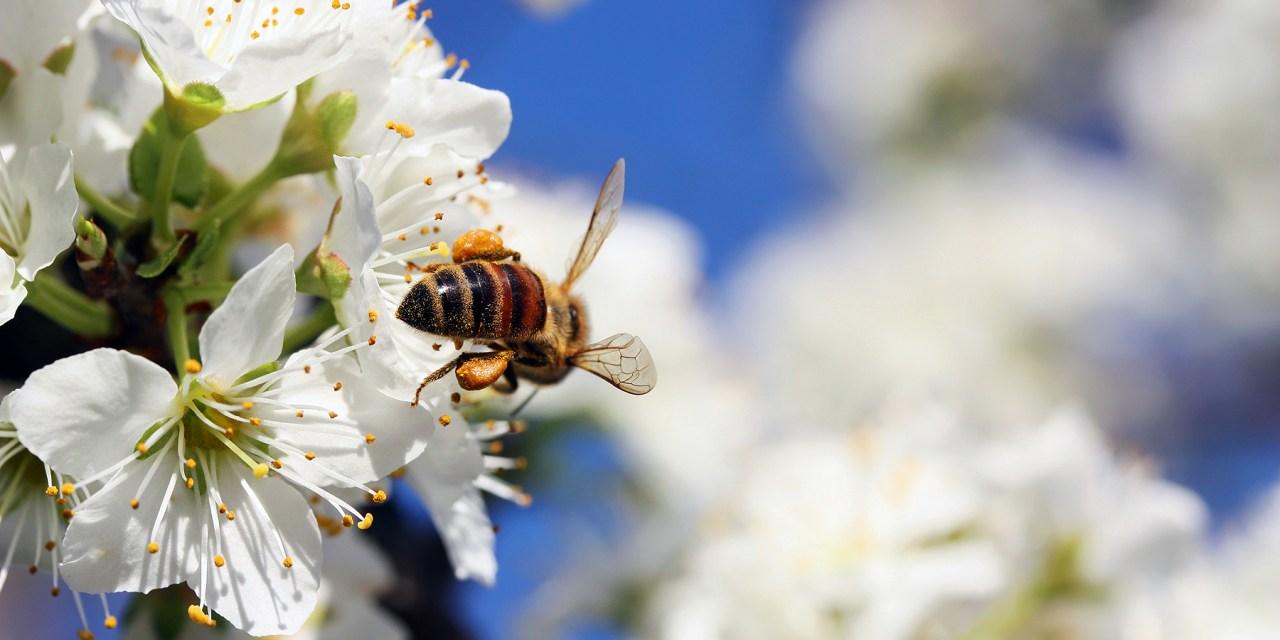 Kötelező, de jól felfogott érdekünk is a beporzó rovarok védelme