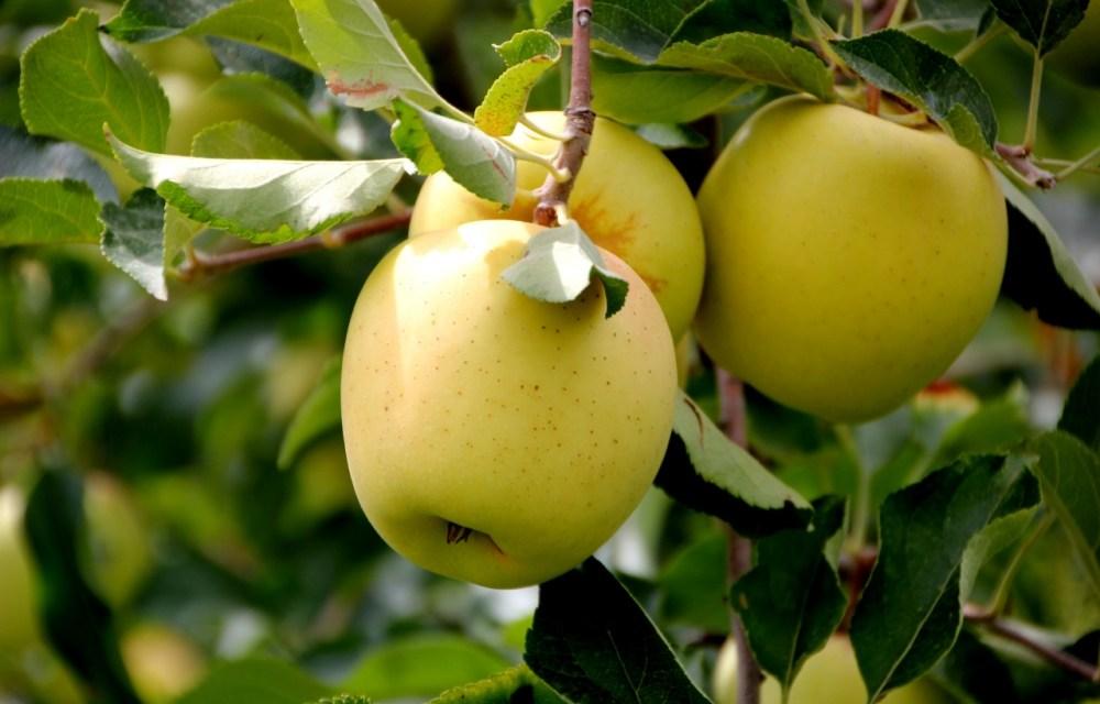 Idén elmarad az almaháború: a lengyel termés 60 százaléka megsemmisült