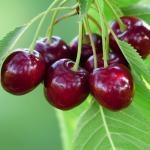 10 ezer tonna alá csökkenhet a cseresznyetermés a sok eső miatt