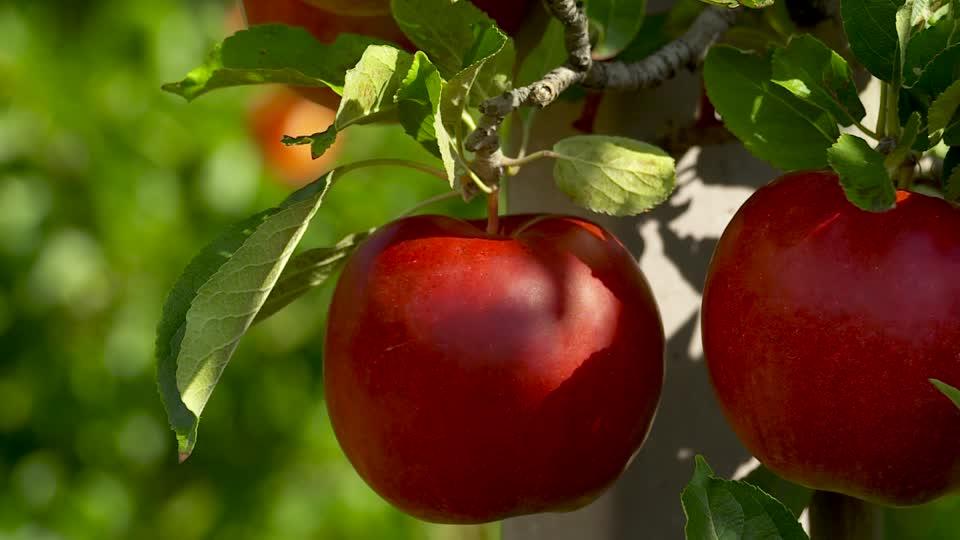 Alma helyzetkép: gyenge termés várható idén