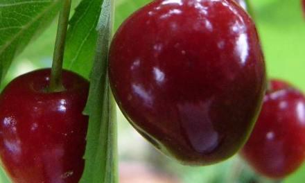 A cseresznye Csehországban – a magyar Carmen a legszebbek egyike