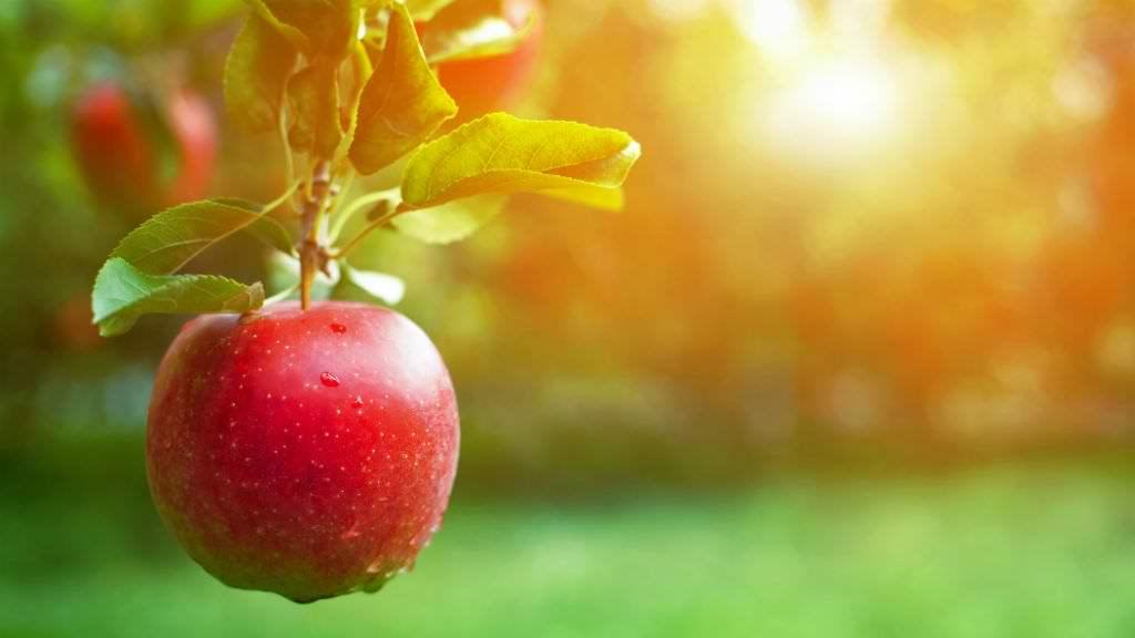 Elindult az almaszüret: az ár a tavalyi duplájáról startolt és máris a triplájánál jár