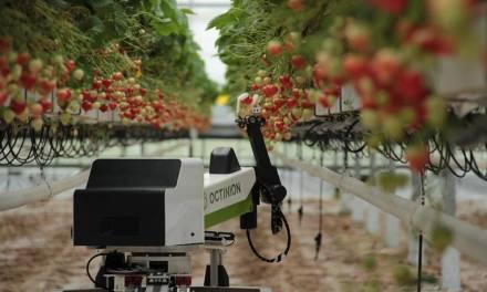 Szamócaszedő robot a szezonmunkások helyett