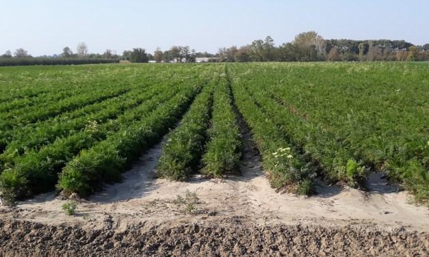 MEGHÍVÓ sárgarépa termeltetés és feldolgozás tanácskozásra