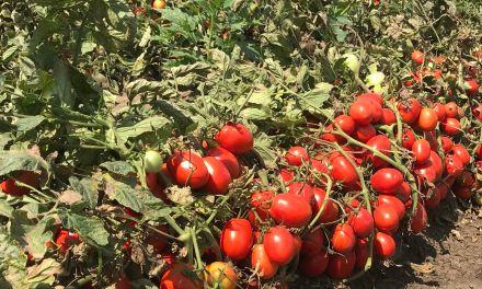 Az ipari paradicsom a szántóföldi zöldségtermesztés nehézipara