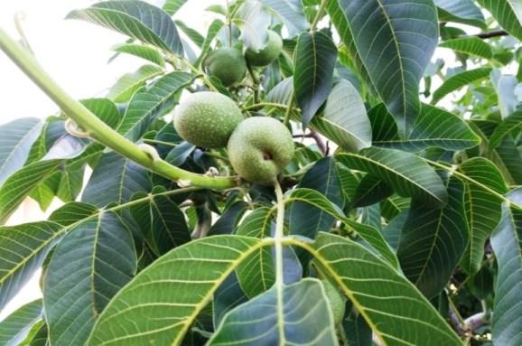 Starting a Walnut Orchard - Wikifarmer
